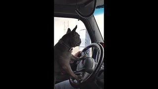 French bulldog takes semitruck for a spin