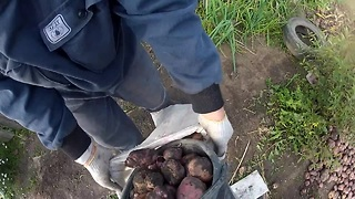 Extreme POV potato digging in HD - Video