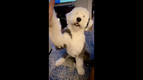 Coolest sheepdog ever just love to give high-fives