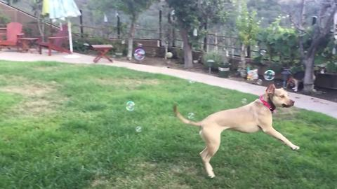 Funny Dog Pops Bubbles In Slow Motion