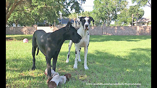 Happy Great Danes Play Reindeer Games With Their Toy