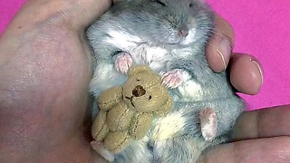 Tiny Hamster Cuddles Tiny Teddy Bear For Nap Time - Video