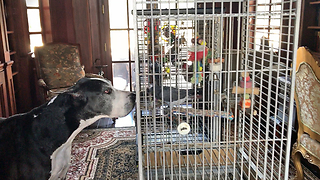 Two Great Danes Meet A Pair Of Parrots Evacuated During Hurricane Irma - Video