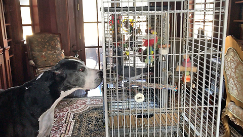 Two Great Danes Meet A Pair Of Parrots Evacuated During Hurricane Irma