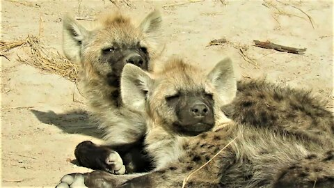 Sleepy hyena cubs struggle to keep their eyes open after long night out