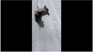Corgi absolutely loves the deep snow - Video