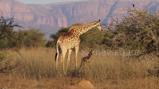 Baby giraffe take first steps thanks to mum at South African national park