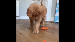 Who needs toys? Puppy hilariously plays with carrots