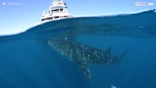 Whale shark encounter delights tourists
