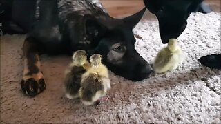 German Shepherds Preciously Watch Over Cute Geese Chicks - Video