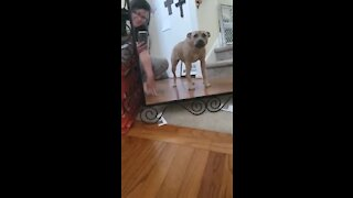 Pit Bull barks at her own reflection in the mirror