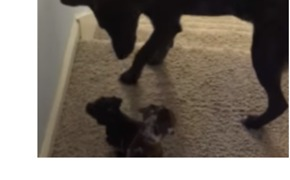 Wise Older Dog Protects Foster Pups From Falling Down Stairs - Video