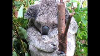 Crazy Koala Facts - Video