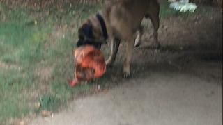 "Gunner my English Mastiff playing with his ""indestructible"" Varsity ball!  - Video"