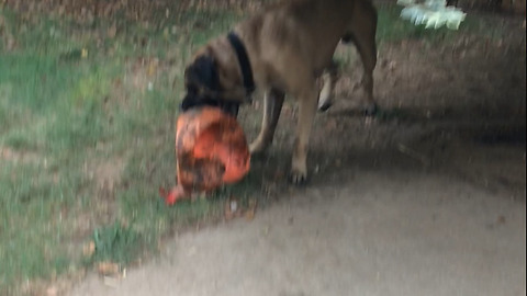 "Gunner my English Mastiff playing with his ""indestructible"" Varsity ball!"