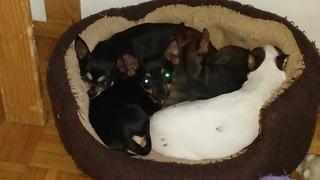 sleeping sleepy chihuahua family  - Video