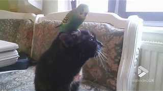 Budgie tap dances on cats head || Viral Video UK - Video