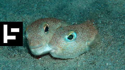 The Japanese Pufferfish Lets Its Art Do The Talking During Mating Season