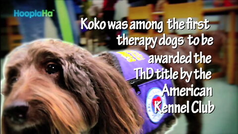 Incredible Therapy Dog - Koko the Labradoodle