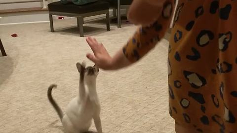 Kitten learns to sit and give high-five