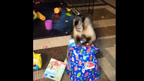 Tommy the monkey is totally excited to unwrap his gift!