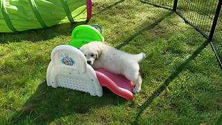 Golden Retriever Puppy Playtime Will Brighten Your Day