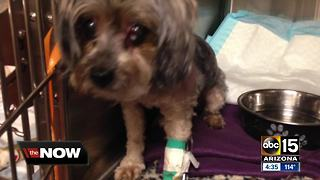 Phoenix family's quick thinking saves dog from coyote attack