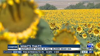 What's That?: Sunflower fields in full bloom near DIA