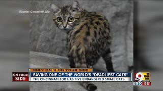 World's deadliest cat is tiny, adorable and endangered