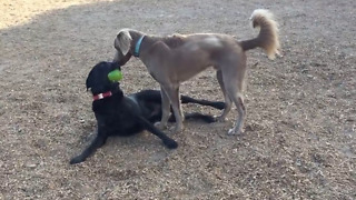 Labrador flaunts ball in his mouth, goads buddy into taking it - Video