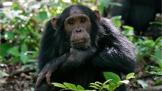 As Chimpanzees Lose Their Habitats Their Traditions Are Also Being Lost