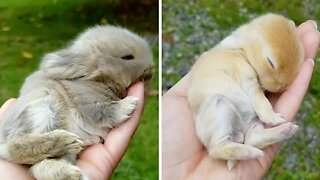 Adorably tiny handheld bunnies are perfect for therapy