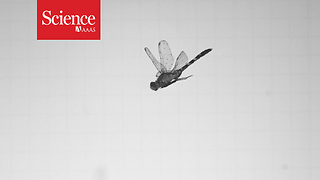 The secret to the dragonfly's backwards flight - Video