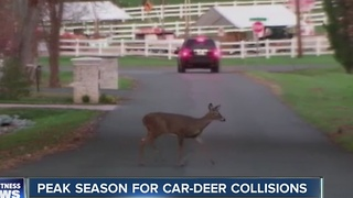 Peak season for car and deer collisions - Video