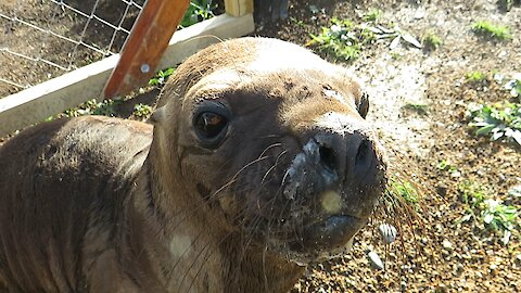 Adorable rescued sea lion pup begs for attention