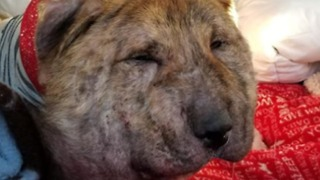 Rescue Dog Enjoys Special Massage to Reduce Swelling on Injured Neck