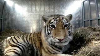 Tiger Released Into The Wild: Endangered Amur Tiger Set Free in Far East - Video