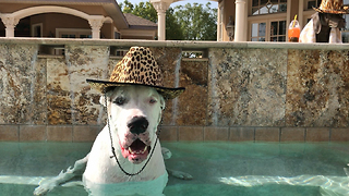 Happy Smiling Great Dane Wearing His Pool Hat