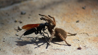 SCARY! 5 creepy bugs in Arizona - ABC15 Digital - Video