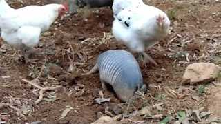 Chicken Reaps The Rewards of Armadillo's Hard Work - Video