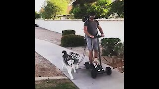 Dude walks 6 dogs on hoverboard with ease