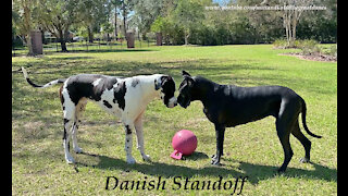 Funny Great Dane Swipes Jolly Ball With Some Fancy Footwork