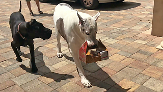 Dog Carries Box Of Chicken Without Even Tasting  Them - Video