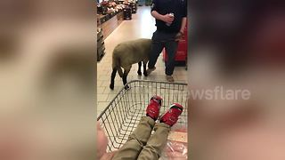 Man takes pet sheep into supermarket in Northern Ireland - Video