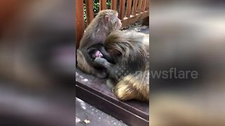 Tender moment papa monkey kisses baby monkey