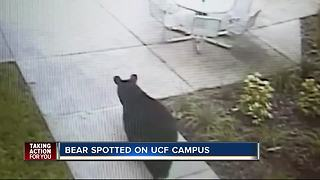 Black bear spotted wandering around UCF campus - Video