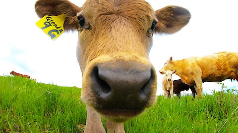 Adorable calf is too curious to resist examining the camera
