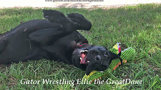 Funny Great Dane Wrestles with Her Alligator Stuffie