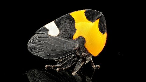 Ecuador Is Home To A Stunningly Beautiful Treehopper