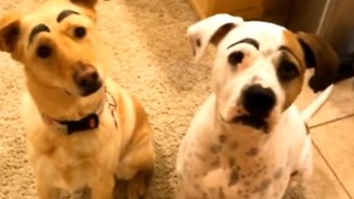 Dogs Have Their Eyebrows Drawn On - Video